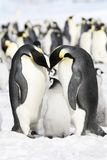 Emperor penguins (Aptenodytes forsteri). On the ice in the Weddell Sea, Antarctica royalty free stock photos