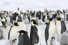 Emperor penguins (Aptenodytes forsteri). Emperor penguin (Aptenodytes forsteri) colony on the sea ice in the Weddell Sea, Antarctica stock photography