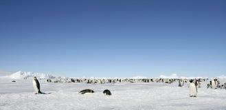 Emperor penguins (Aptenodytes forsteri). Emperor penguin (Aptenodytes forsteri) colony on the sea ice in the Weddell Sea, Antarctica Royalty Free Stock Photo