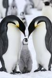 Emperor penguins (Aptenodytes forsteri). On the ice in the Weddell Sea, Antarctica stock photos