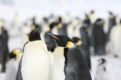 Emperor penguins (Aptenodytes forsteri). On the ice in the Weddell Sea, Antarctica Royalty Free Stock Photography