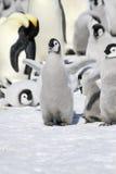 Emperor penguins (Aptenodytes forsteri). Emperor penguin chick (Aptenodytes forsteri) on the ice in the Weddell Sea, Antarctica Royalty Free Stock Photo