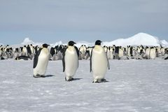 Emperor penguins (Aptenodytes forsteri). Walking on the ice in the Weddell Sea, Antarctica stock image