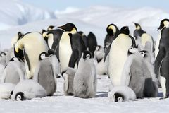 Emperor penguins (Aptenodytes forsteri). On the ice in the Weddell Sea, Antarctica stock images