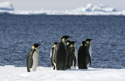 Emperor penguins (Aptenodytes forsteri) Stock Photography