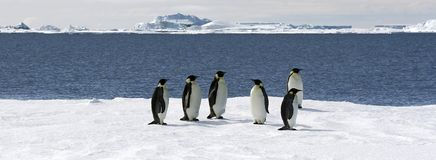 Emperor penguins (Aptenodytes forsteri). On the ice in the Weddell Sea, Antarctica royalty free stock photo