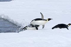 Emperor penguins (Aptenodytes forsteri). Jumping out of the water onto the ice in the Weddell Sea, Antarctica royalty free stock photography