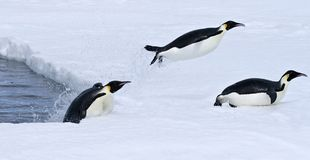 Emperor penguins (Aptenodytes forsteri). Jumping out of the water onto the ice in the Weddell Sea, Antarctica royalty free stock images