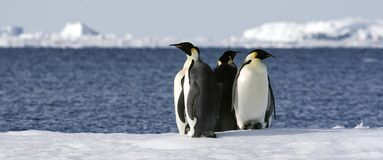 Emperor penguins (Aptenodytes forsteri). On the ice in the Weddell Sea, Antarctica stock photography