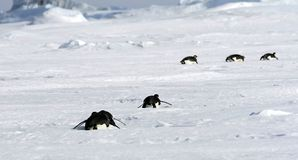 Emperor penguins (Aptenodytes forsteri). Sliding on the ice in the Weddell Sea, Antarctica royalty free stock photo