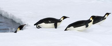 Emperor penguins (Aptenodytes forsteri). Jumping out of the water onto the ice in the Weddell Sea, Antarctica stock images
