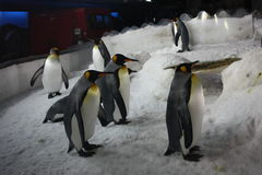 Emperor penguins in aquarium. Royalty Free Stock Photography