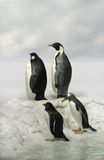Emperor penguins on arctic landscape royalty free stock image