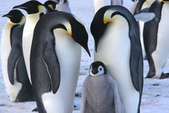 Emperor penguins with chick. (Ross sea Antarctic Royalty Free Stock Image