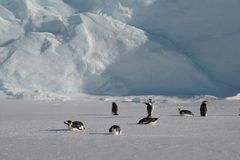 Emperor penguins chick. Makes a selfie photo shoot. Standing on the snow. Day royalty free stock photos