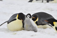 Emperor Penguins with chick Royalty Free Stock Image