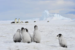 Emperor Penguins with chick Royalty Free Stock Photos