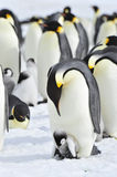 Emperor Penguins with chick. Snow Hill in Antarctica royalty free stock photo