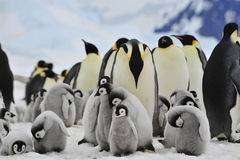 Emperor Penguins with chick. Snow Hill in Antarctica royalty free stock image