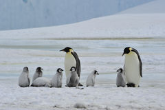 Emperor Penguins with chick. Snow Hill in Antarctica royalty free stock photos