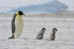 Emperor Penguins with chick. Snow Hill in Antarctica stock images