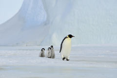 Emperor Penguins with chick Stock Images