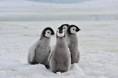 Emperor Penguins chicks. Emperor Penguins with chick Snow Hill in Antarctica stock photography