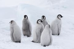 Emperor Penguins chicks on ice royalty free stock photos