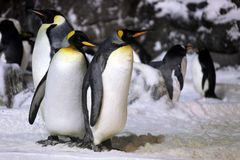 Emperor Penguins Hanging Out Together Stock Photo