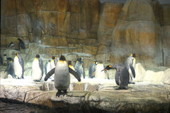 Emperor penguins - home sweet cave royalty free stock photos