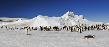 Emperor Penguins on the ice Stock Photography