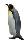 Emperor penguins. Royalty Free Stock Images