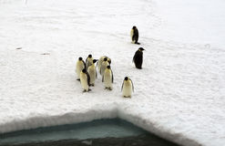 Emperor penguins. Royalty Free Stock Photo