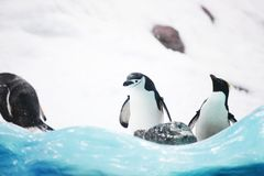 Emperor penguins Stock Photos
