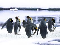 Emperor Penguins in the snow. Picture of Emperor Penguins relaxing in the snow in Hokkaido Japan. For Assignment images stock image