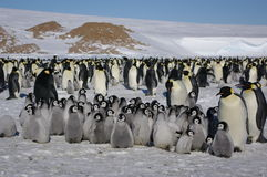 Emperor Penguins and their babies Royalty Free Stock Photography