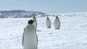 Emperor penguins walking stock video footage