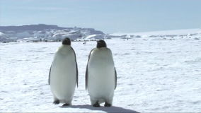 Emperor penguins walking stock video