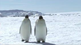 Emperor penguins walking stock video