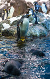 Emperor Penguins on Water Royalty Free Stock Photography