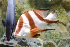 Emperor red snapper Royalty Free Stock Photo