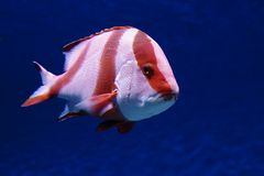 Emperor red snapper. stock photo