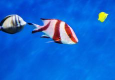 Emperor red snapper. royalty free stock photography