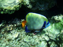 Emperor's angel. Fish emperor's angel in the Red sea, Egypt, among corals, submarine survey stock photography