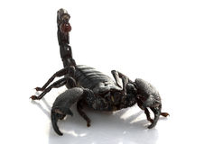 Emperor Scorpion Royalty Free Stock Image