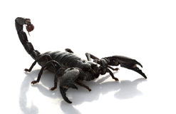 Emperor Scorpion Stock Image