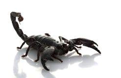 Emperor Scorpion. (Pandinus imperator) isolated on white background Stock Image