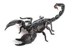 Emperor Scorpion, Pandinus Imperator, 1 Year Stock Photo