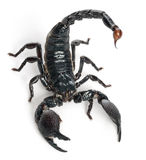 Emperor Scorpion,  Pandinus imperator. 1 year old, in front of white background Royalty Free Stock Photography