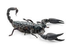 Emperor Scorpion, Pandinus imperator. Against white background Royalty Free Stock Photos